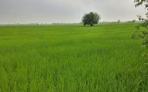 Rice_fields_punjab
